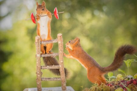 red squirrel standing  on stairs holding a weight with another squirrel beneath Stock Photo