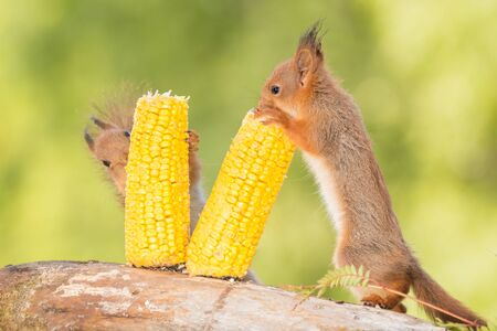 two young red squirrels  holding  corn