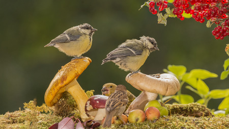 close up of two titmouse standing on mushrooms with branch of red currant and birds beneath