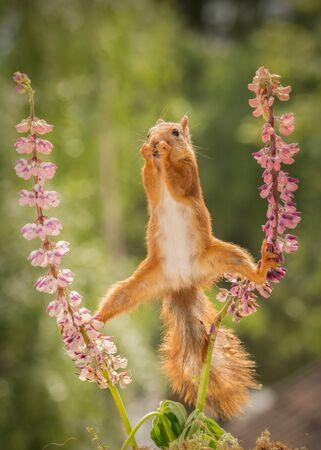 Eichhörnchen stehend zwischen 2 Lupinenblüten mit gespreizten Beinen Standard-Bild