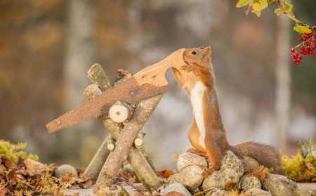 red squirrel standing with a saw with pebbles beneath Stock Photo