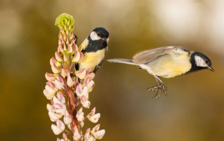close up of titmouse standing and holding on to a lupine flower and one blurry titmouse flying away Stock Photo