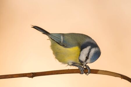 close up of a titmouse standing on a branch bending down