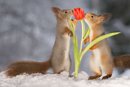 red squirrels holding and smelling a red tulip Stock Photo
