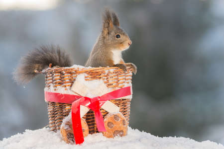 red squirrel standing in a basket on snow