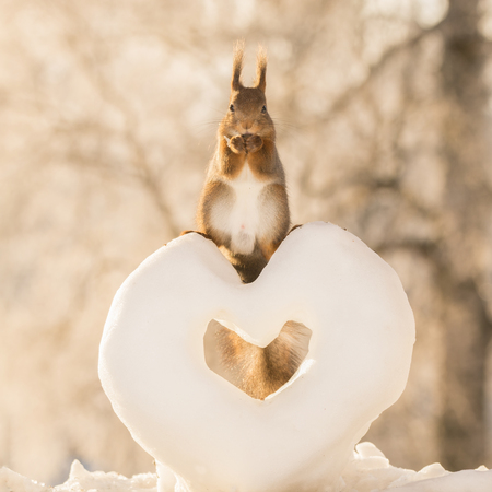 red squirrel standing on a snow heart Stock Photo