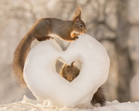 red squirrels standing on and in a snow heart