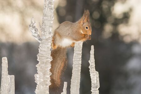 sopel lodu: red squirrel standing in a split between icicles