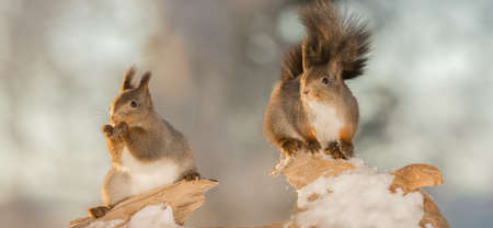 red squirrels standing on wood with snow looking away