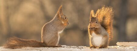 close up of a red squirrels standing on ice looking away