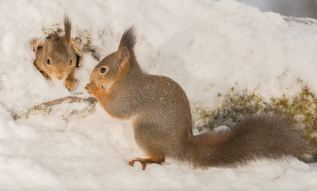 duo: close up of red squirrel climbing out of a tree hole with snow and another waiting outside Stock Photo