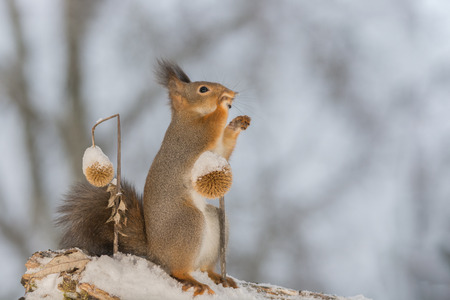 close up of red squirrel on snow touching  a dried frozen thistle and looking and reaching up Stock Photo