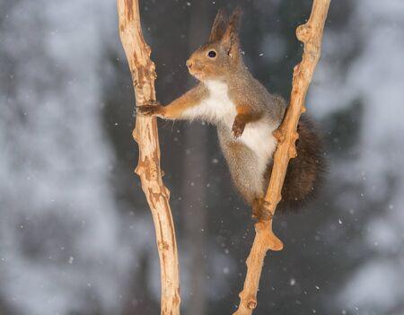 red squirrel standing between  2 branches with spread legs Standard-Bild