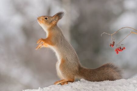 smile close up: profile and close up of a red squirrel which is reaching standing in snow with berries behind