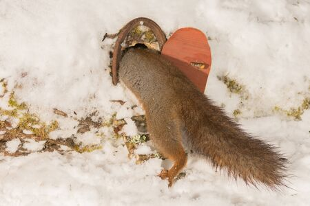 close up of red squirrel climbing in of a tree hole with snow  and a door Stock Photo