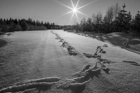 moose tracks, sun flares with snow in a forest , winter, mountain landscape during daytime in black and white