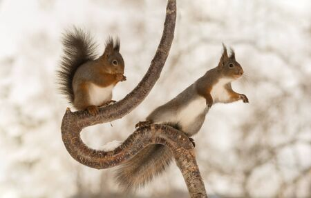 hi back: red squirrels holding on to a rounded tree branch and another reaching out
