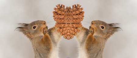 close up of red squirrels holding and reaching a  pinecone