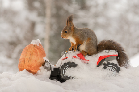 close up of red squirrel on a car with snow and big acorn in front