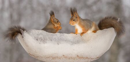 close up of red squirrels standing in a bowl of  snow and ice looking at each other Stock Photo