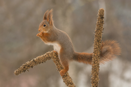 close up of  red squirrel standing on  a stem of a flower