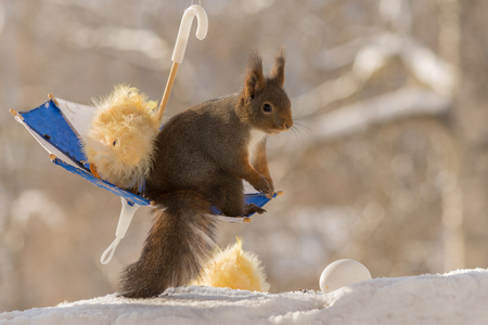 close up of red squirrel standing  in  a umbrella with eggs and chick with snow beneath