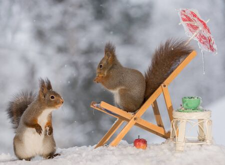 close up of red squirrel standing on a chair with a cup , table and apple with another squirrel beneath Stock Photo