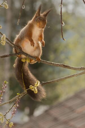 close up of  red squirrel  on flowers  branches  with closed eyes
