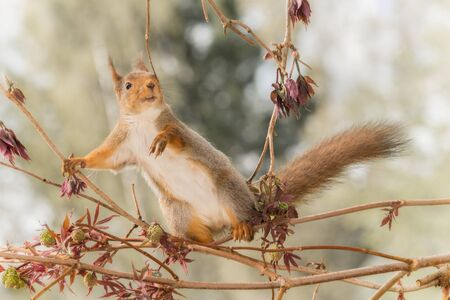 close up of  red squirrel  on   branches with leaves looking at the viewer