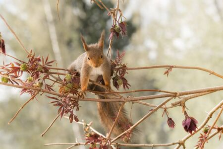hi back: close up of  red squirrel  on   branches with leaves looking at the viewer