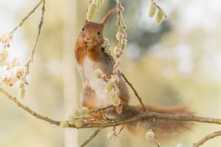hi back: close up of  red squirrel  on   willow branches with leaves and flowers looking at the viewer