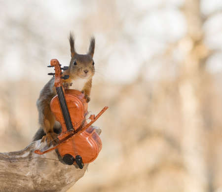 close up of female red squirrel standing on a tree trunk with a cello