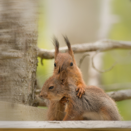 close up of  two young red squirrel holding each other in a intimate stand