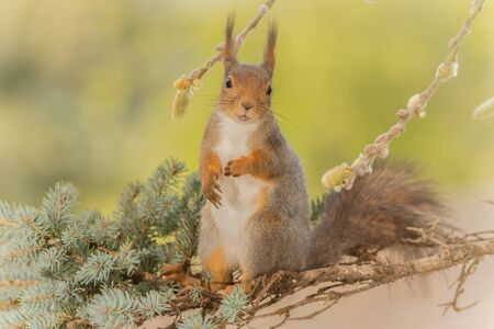 close up of  red squirrel  on   branches looking at the viewer