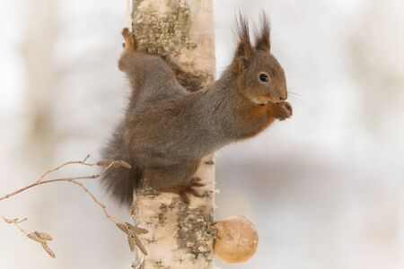hi back: close up of  red squirrel  holding on to a birch tree Stock Photo