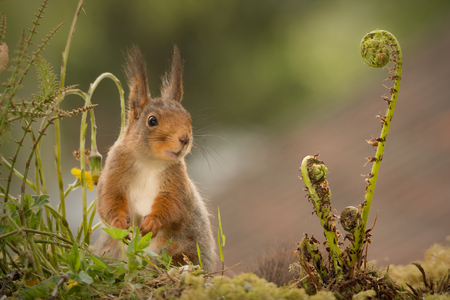close up of  red squirrel standing between and behind ferns looking away