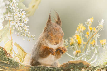profile and close up of  red squirrel with closed eyes standing behind a tree trunk with moss and flowers