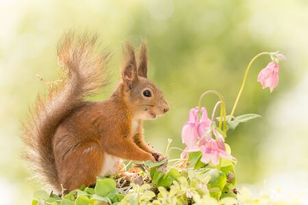 close up of  red squirrel  looking at flowers with a smile