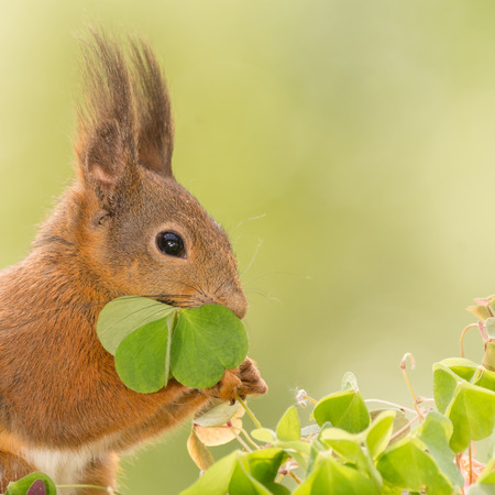 close up of  red squirrel  holding a clover leaf Stock Photo