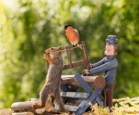 close up of   red squirrel holding a saw with a man and wood with male bullfinch blurry on it