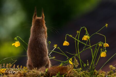 viewer: close up of red squirrel  standing between flowers in sunlight  with back turned to the viewer