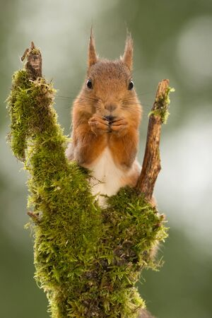 close up of  red squirrel  standing with tree branch with moss looking at the viewer