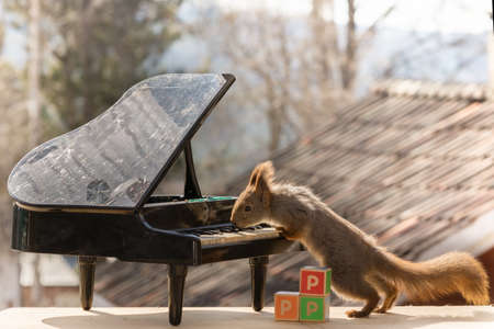 red squirrel standing with a piano  and wooden blocks with the letter P Stock Photo