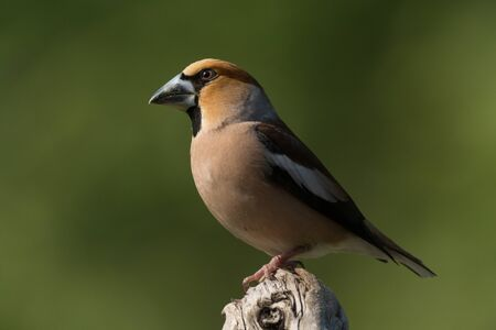 profile and close up of  a hawfinch on tree trunk