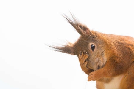 close up of  red squirrel  holding a hand before her head
