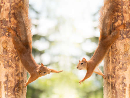close up of  two red squirrels standing on their sides against tree reaching out