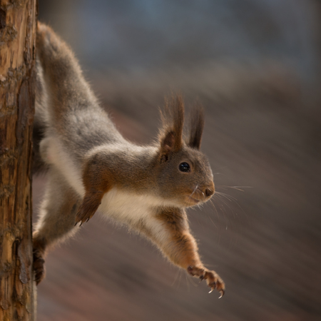 close up of  red squirrel standing on her side against tree reaching out