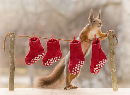 line up: red squirrel standing  with a laundry line with stockings