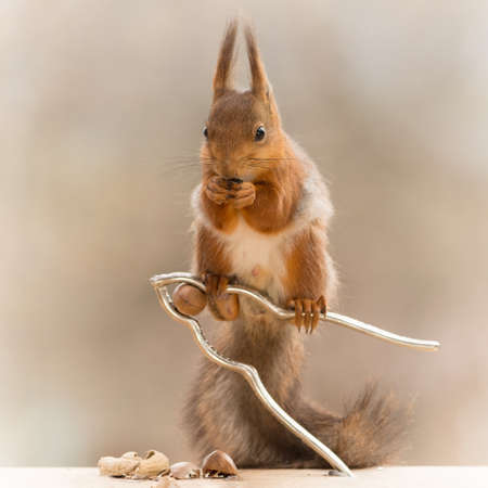 red squirrel standing on a nutcracker with a nut