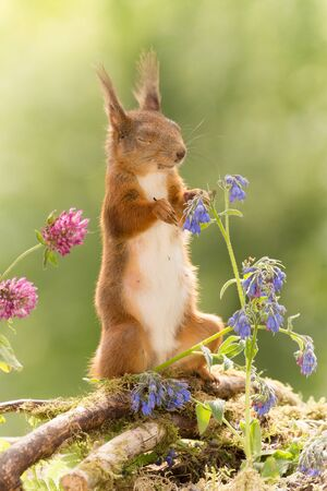red squirrel standing with blue flowers with closed eyes